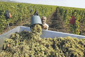 Виноград в Молдавии созрел, но кто его купит?Фото Reuters