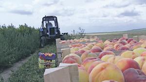 Молдавские персики могут попасть на стол россиян, если чиновники договорятся. Фото с сайта www.europalibera.org