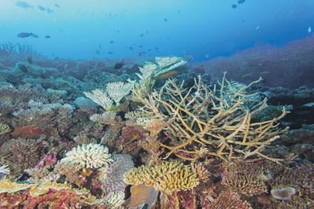 На атолле Хуваду на глубинах 15–20 м местами еще сохранились коралловые сады, однако и здесь видны отдельные побелевшие колонии кораллов. Фото Татьяны Антохиной, Институт проблем экологии и эволюции РАН