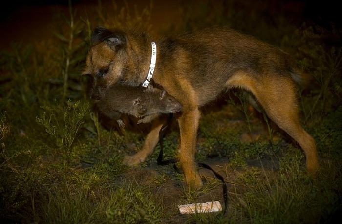 пес который ловит крыс